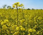 A field of flowering canola