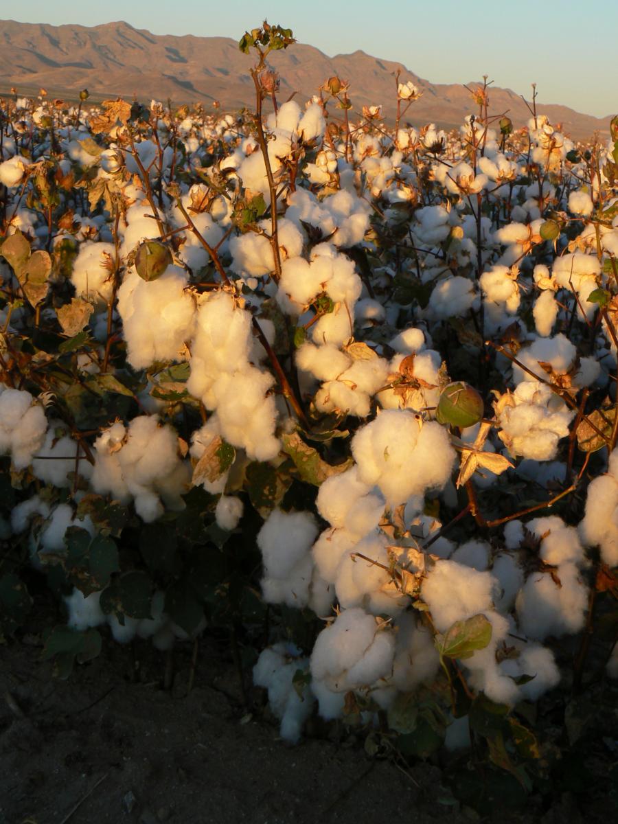 A cotton field in Arizona.